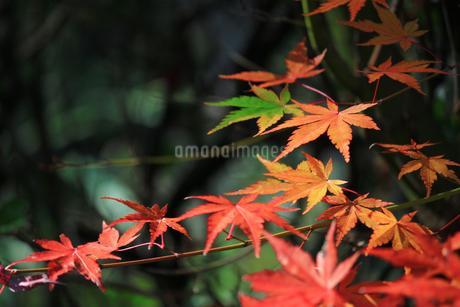 赤く紅葉してゆくイロハモミジの色彩が鮮やかな日本の秋の風景の写真素材 [FYI04530163]