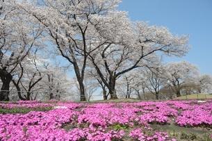 満開の桜と芝桜の写真素材 [FYI04530326]