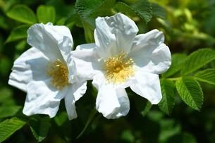 バラ・シロバナハマナスの花の写真素材 [FYI04530735]