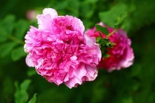 バラ・イザヨイバラの花の写真素材 [FYI04530736]