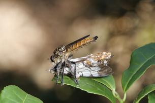 イシガケチョウを捕まえたサキグロムシヒキの写真素材 [FYI04530747]