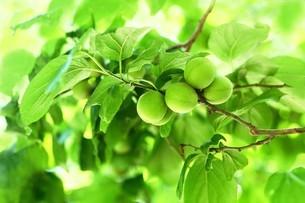 梅の実が育つ頃の写真素材 [FYI04530753]