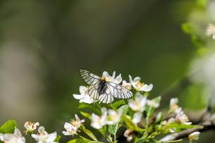 ズミの花にとまるウスバシロチョウの写真素材 [FYI04530814]