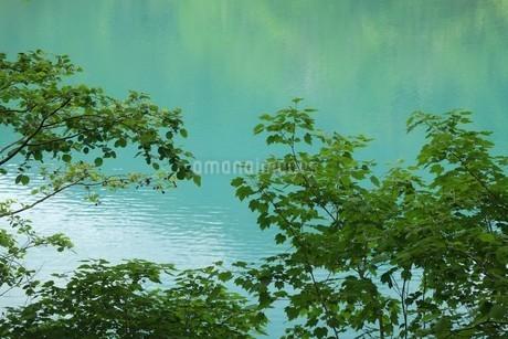 オンネトー湖畔の新緑の写真素材 [FYI04531144]