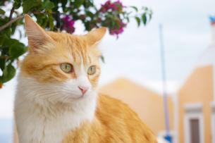 サントリーニ島のネコ1の写真素材 [FYI04531181]
