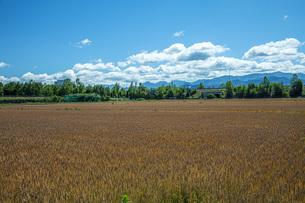 麦畑の写真素材 [FYI04531264]