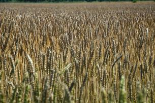 麦畑の写真素材 [FYI04531268]