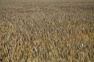 麦畑の写真素材 [FYI04531269]