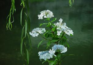京都 伏見 紫陽花の濠川の写真素材 [FYI04531320]