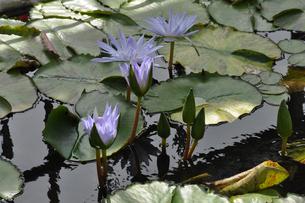 熱帯睡蓮の花と葉の写真素材 [FYI04531544]