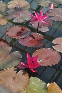 熱帯スイレンの花と葉の写真素材 [FYI04531547]