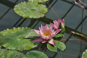 熱帯スイレンの花と葉の写真素材 [FYI04531548]