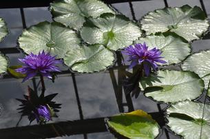 熱帯スイレンの花と葉の写真素材 [FYI04531551]