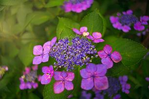 ワインレッド・紫陽花の写真素材 [FYI04531629]