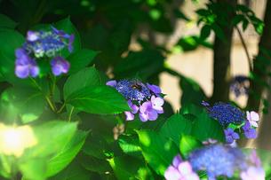 ガクアジサイの花粉集めているクマバチの写真素材 [FYI04531630]