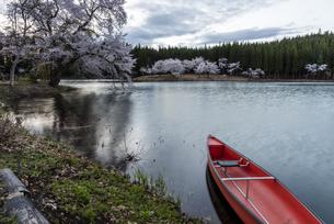 中子の桜の写真素材 [FYI04531636]