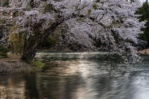 中子の桜の写真素材 [FYI04531639]
