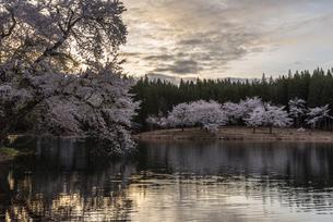 中子の桜の写真素材 [FYI04531640]