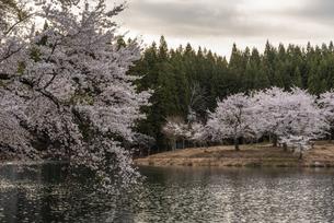 中子の桜の写真素材 [FYI04531642]