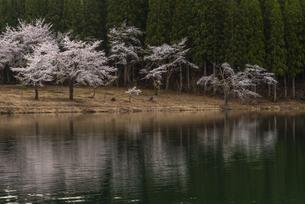 中子の桜の写真素材 [FYI04531651]