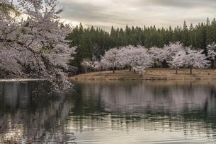 中子の桜の写真素材 [FYI04531652]