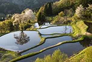 桜と儀明の棚田の写真素材 [FYI04531665]
