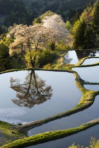 桜と儀明の棚田の写真素材 [FYI04531666]