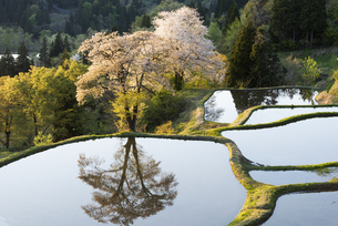 桜と儀明の棚田の写真素材 [FYI04531667]