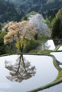 桜と儀明の棚田の写真素材 [FYI04531675]