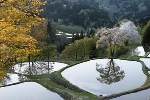 桜と儀明の棚田の写真素材 [FYI04531677]