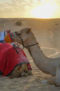 アラビア砂漠のラクダ(アラブ首長国連邦)の写真素材 [FYI04531795]