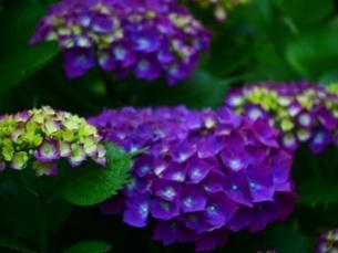 紫陽花6の写真素材 [FYI04532471]