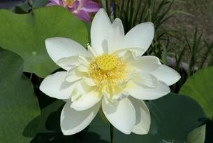 大阪,長居植物園,ハスの花の写真素材 [FYI04532696]