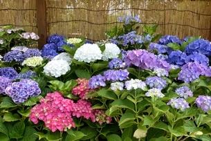 大阪,長居植物園,アジサイの花展示の写真素材 [FYI04532700]
