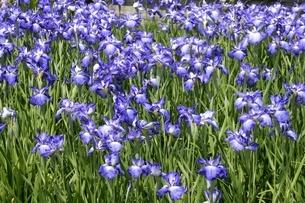 大阪,長居植物園,花しょうぶ,藍草紙,肥後系の写真素材 [FYI04532723]