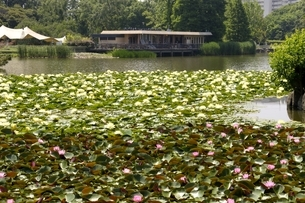 大阪,長居植物園,大池のスイレンの花の写真素材 [FYI04532726]