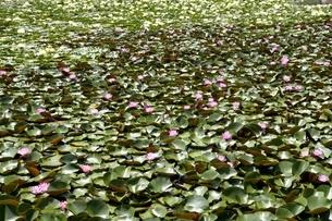 大阪,長居植物園内のスイレンの花の写真素材 [FYI04532735]