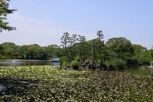 大阪,長居植物園,大池スイレンの花の写真素材 [FYI04532741]