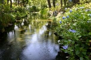 大阪,長居植物園,小川とアジサイの花の写真素材 [FYI04532745]