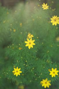 黄色い花・イトバハルシャギク (糸葉春車菊) の写真素材 [FYI04532893]