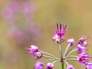 咲いている紫のラッキョウの花の写真素材 [FYI04533003]