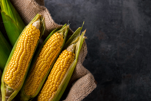 Corn cobs on burlap sack.の写真素材 [FYI04533005]