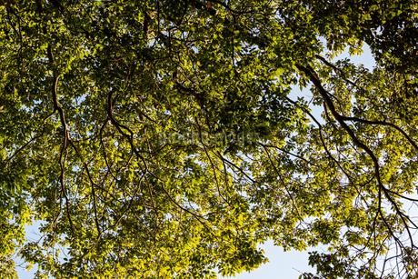 下から見た森の木の枝の写真素材 [FYI04533006]