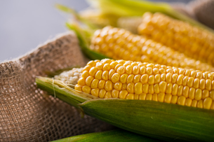 Corn cobs on burlap sack.の写真素材 [FYI04533009]