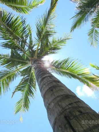 インドネシア、バリ島、椰子の木の写真素材 [FYI04533035]