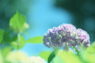 紫陽花 写真素材の写真素材 [FYI04533124]
