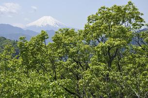 新緑に富士山の写真素材 [FYI04533226]