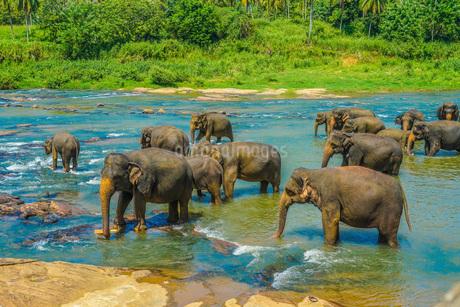 野生の象のイメージ(スリランカ・ピンナワラ)の写真素材 [FYI04533356]