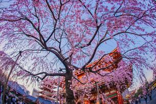 枝垂れ桜と浅草寺の写真素材 [FYI04533362]