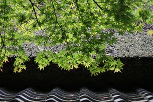 京都 青もみじとかやぶき屋根の写真素材の写真素材 [FYI04533530]